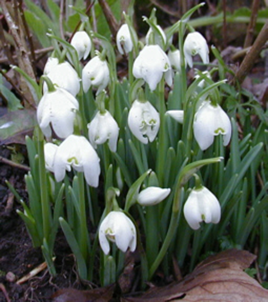 Snowdrop Bulbs Single Galanthus Nivalis Snowdrop Bulbs