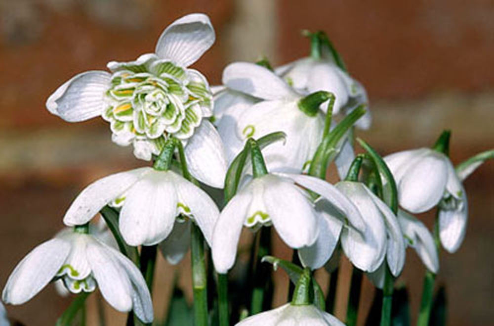 Double Snowdrops In The Green Galanthus Flore Pleno