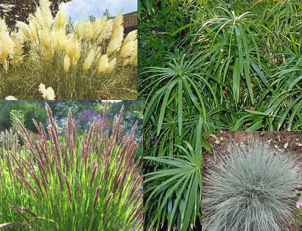 Ornamental grasses collection gsd value seed collections for Different ornamental grasses