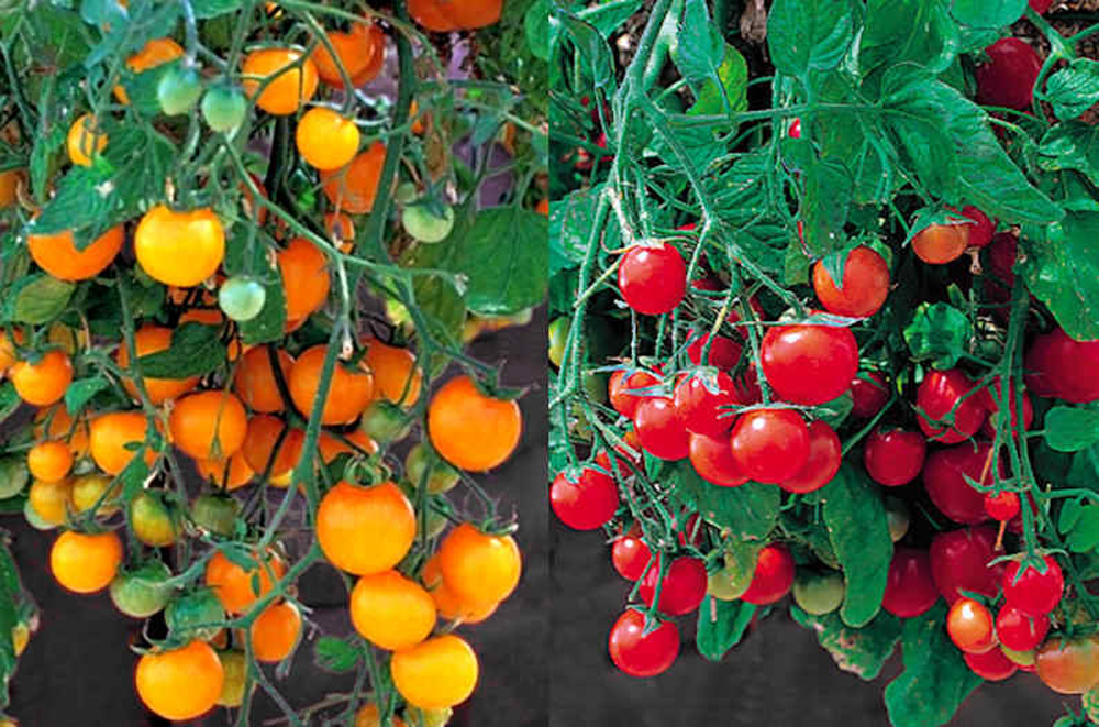 Tumbling Tom Tomatoes 10 Red 10 Yellow Seeds Seed