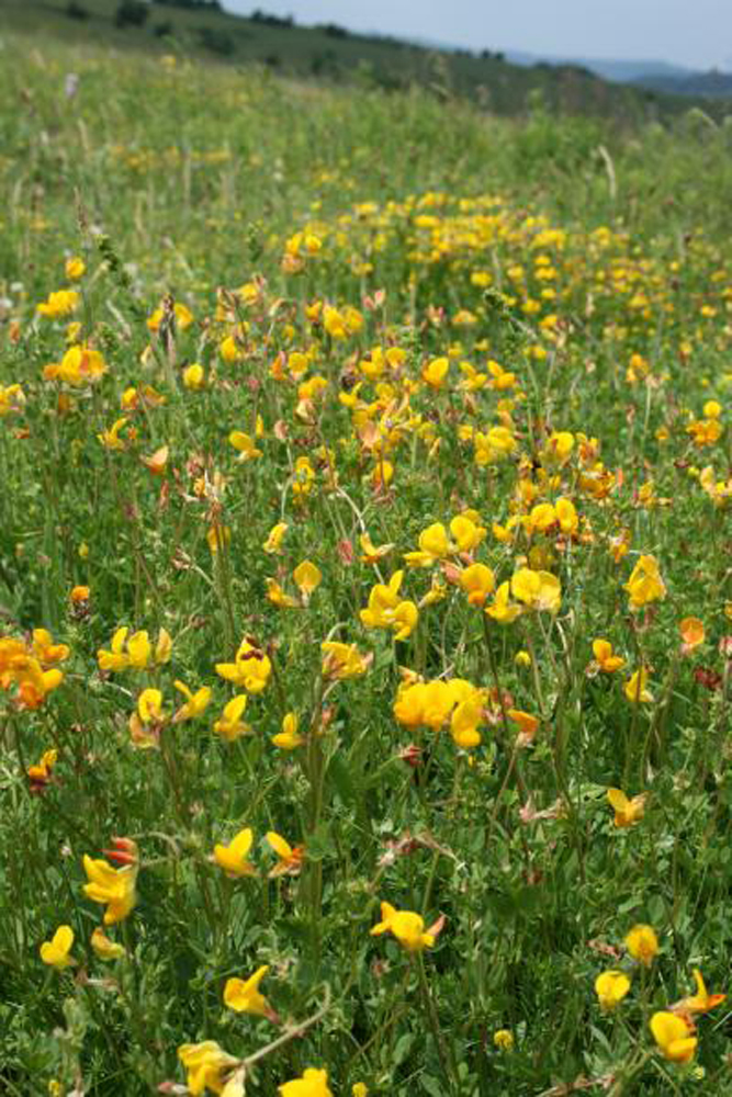 Wildflower Seed Mix For Acidic Soils Below Ph 6 Wild