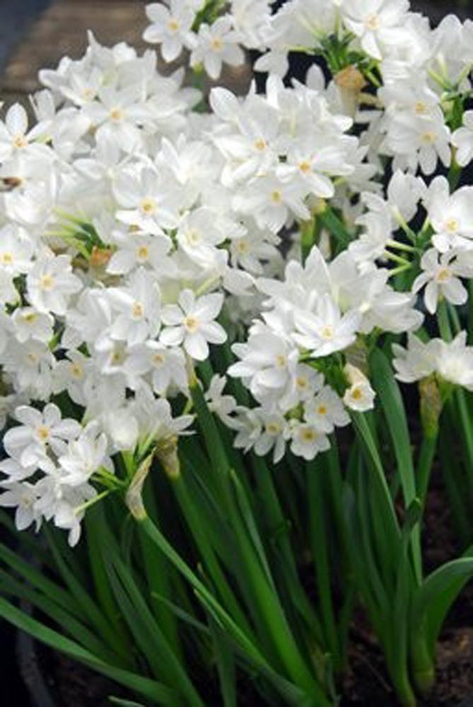 Narcissi Paperwhite Grandiflora Daffodil And Narcissus Bulbs