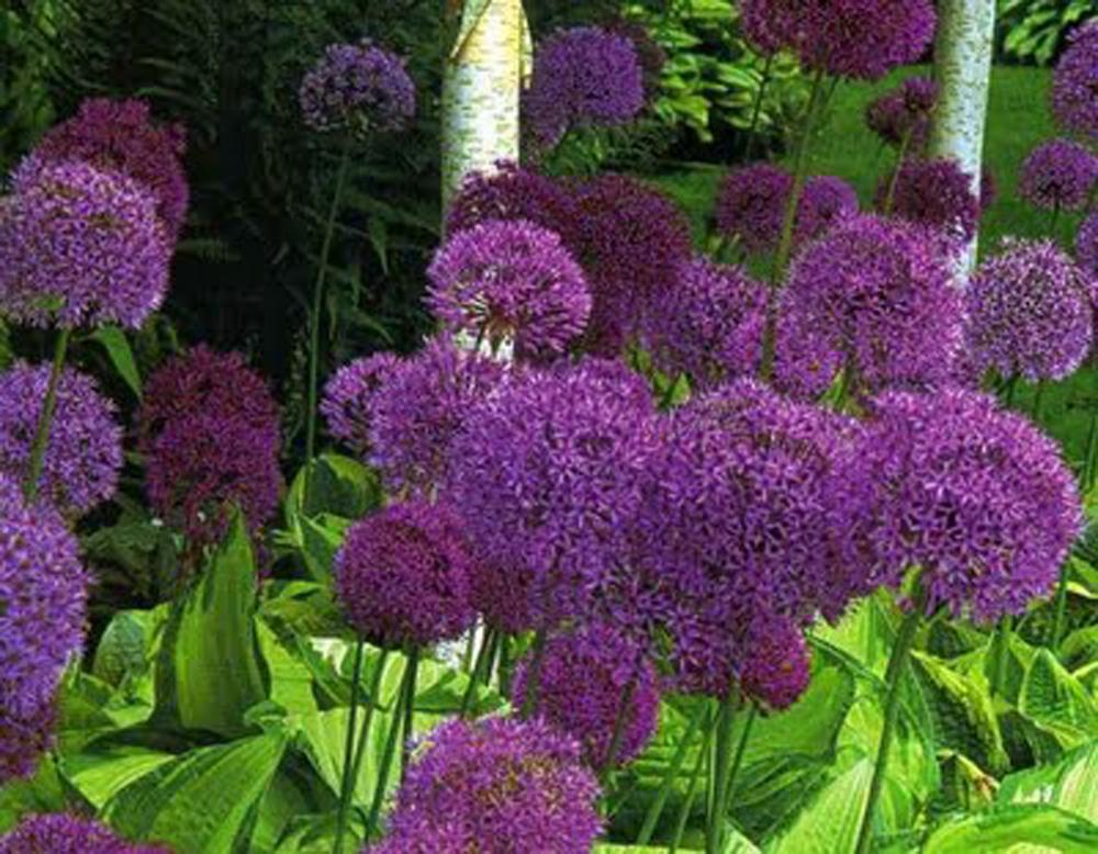 allium purple sensation allium bulbs. Black Bedroom Furniture Sets. Home Design Ideas