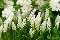 Muscari bot Album - White - Pack of%