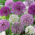 Giant Hardy Allium Collection - 96 Bul