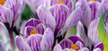 Crocus Bulbs Large Flowering Striped,