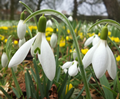 Snowdrops & Aconites - 25 of Each