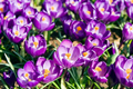 Crocus Bulbs Large Flowering Purple, F