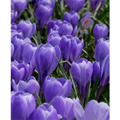 Crocus Bulbs Large Flowering Blue, Gra