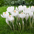 Crocus Bulbs Large Flowering White, Je