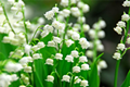 Lily of the Valley Bare Root Plant -