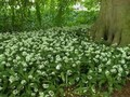 Wild Garlic - Allium Ursinum