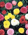 Ranunculus Peony Flowering Mixture