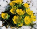 Aconite Bulbs (Eranthis Hyemalis)