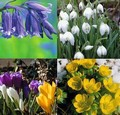 400 Bulbs for Naturalising in Grass, Borders or Wo