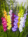 Gladioli Large Flowered Mixture - Pack%2