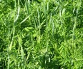 Green Manure - 500g Pack
