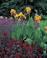 Canna Picaso - Pack of 5
