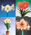 Amaryllis Collection II - 4 Large Bulb