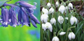 Single Snowdrops (50 Bulbs) & Engl