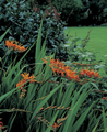 Crocosmia Masoniorum Montbretia - Pack o