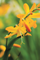 Crocosmia John Boots - Pack of 50