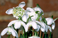 Double Snowdrops in the green - Galant