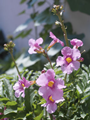 Incarvillea Delavayi - Pack of 5