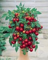 Tumbling Tom Tomatoes Red 10 Seeds