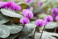 50 Cyclamen Coum Seeds