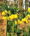 Fritillaria Crown Imperial Lutea