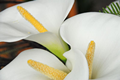 Calla Aethiopica - Pack of 5