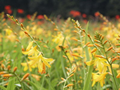 Crocosmia George Davidson - Pack of 50