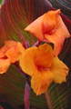 Canna Tropicana - Pack of 5