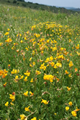 Wildflower Seed Mix for Acidic Soils %