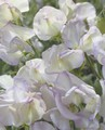 SWEET PEA HIGH SCENT 25 SEEDS - HIGH