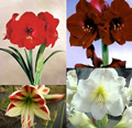 Amaryllis Collection - 4 Large Bulbs