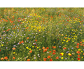 Wildflower Seed Mix for Damp, Loamy