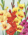 Gladioli Butterfly Mixture - Pack of 2