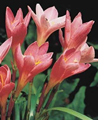 Zephyranthes Robusta - Pack of 25
