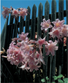 Amaryllis Belladonna - Pack of 3