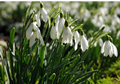 Snowdrops in the green - Single Galant