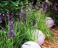 Camassia esculenta - Pack of 100