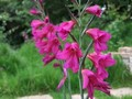 Gladioli Byzanthinus - Pack of 100.