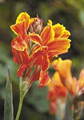 Canna Lucifer - Pack of 5